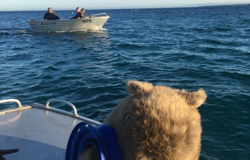 Wombat fishing for squid