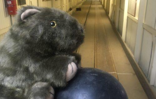 Wombat ball skills